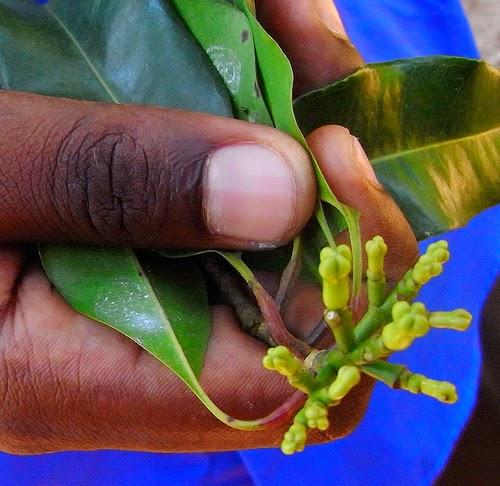 Zanzibar clove plant species