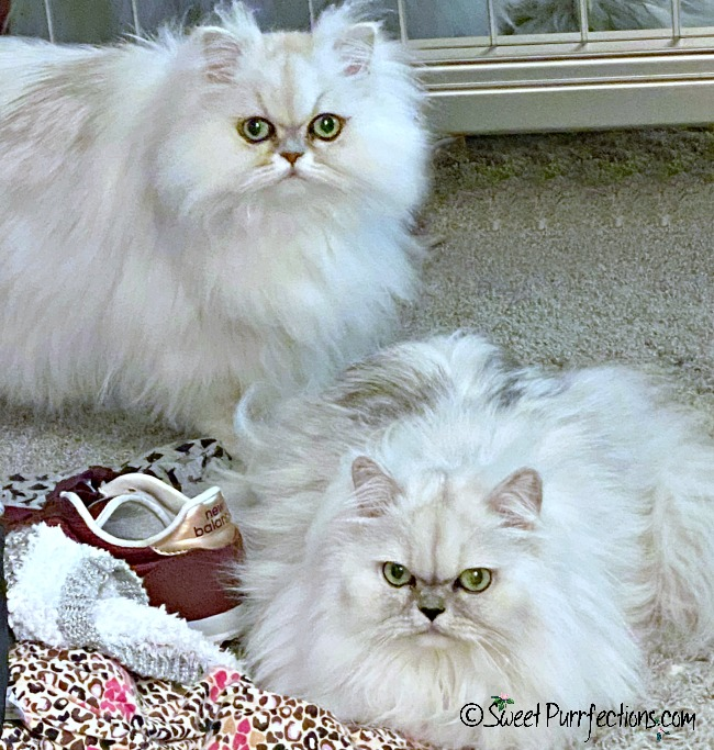 Two silver Persian cats with clothing