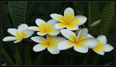 Enam Fakta Unik Bunga Kamboja 97