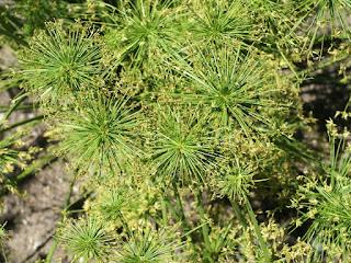 Souchet élégant - Cyperus elegans - Cyperus viviparus