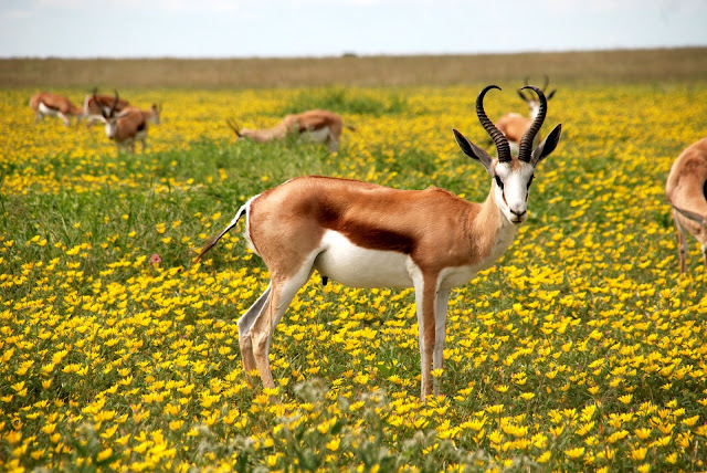 Antelopes Bloom Animals Wildlife In Springbok Season HD Wallpaper