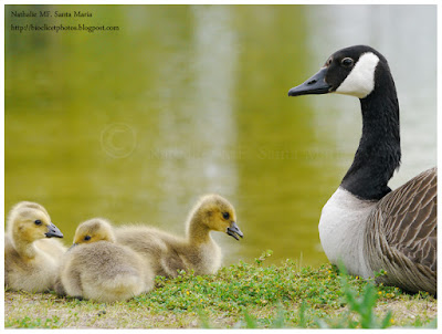 https://bioclicetphotos.blogspot.fr/search/label/Bernache%20du%20Canada%20-%20Branta%20Canadensis