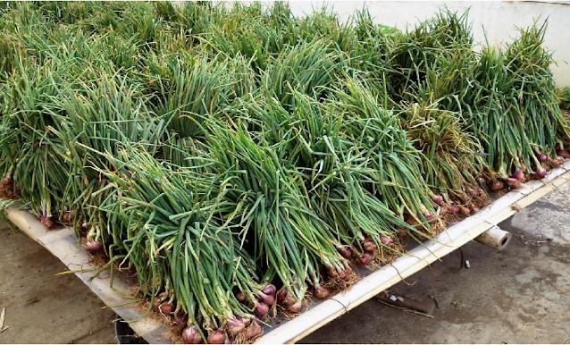 Penjemuran hasil panen merupakan bagian penting dari penanganan pascapanen bawang merah