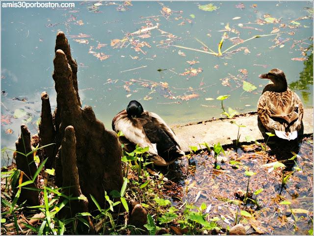 Patos en el Jardín Japonés de Fort Worth