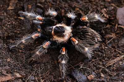New World Pet Curly Hair Tarantula Care Tank Lifespan Molt Poison