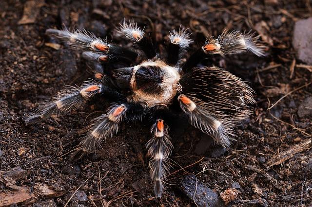 Pet Curly Hair Tarantula: Care, Tank, Lifespan, Molt, Poison