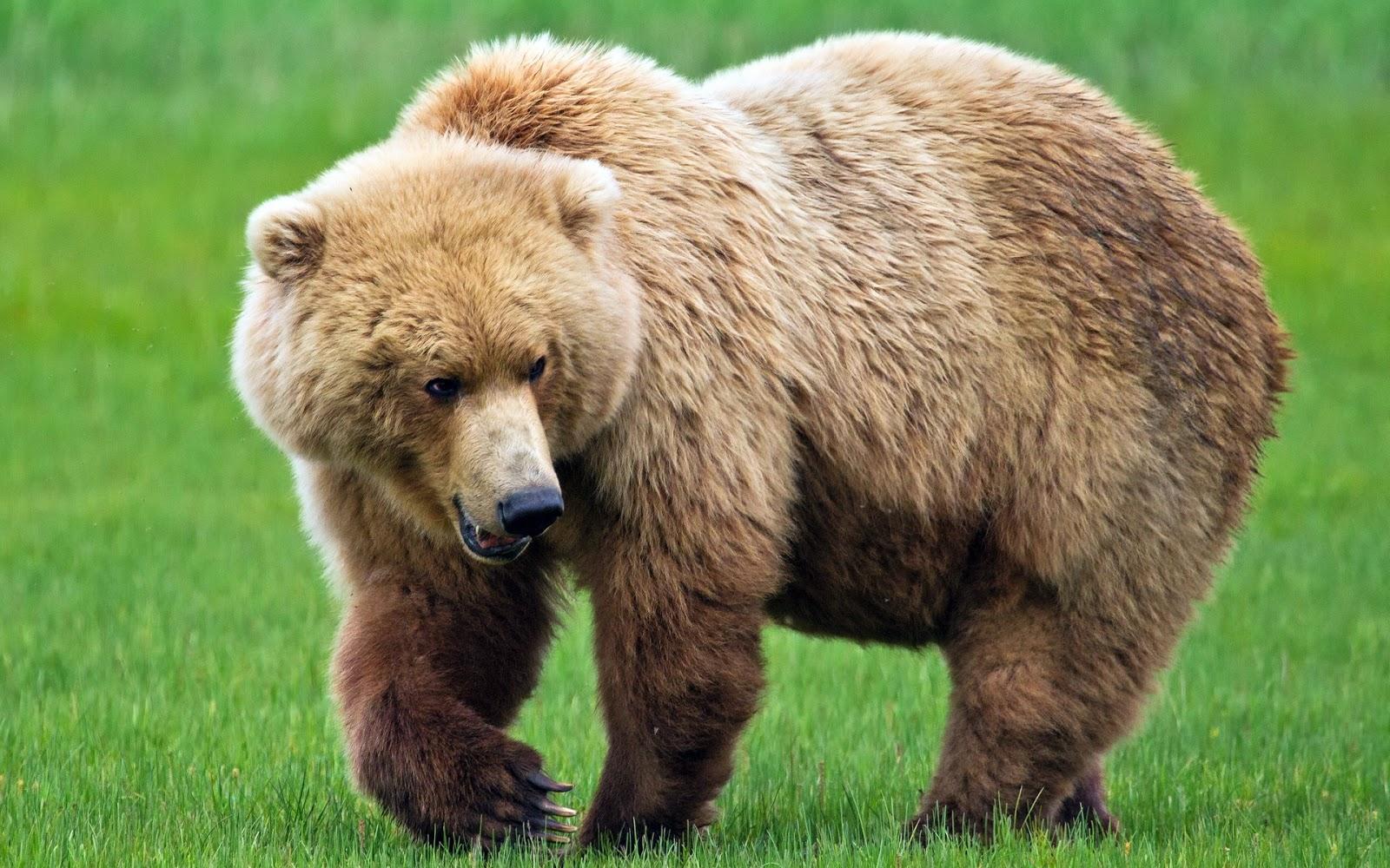 bears - photo #7