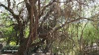 Invasive cactus vine - Koko Crater Botanical Garden, HI