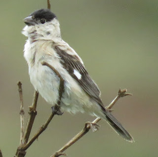 Pearly-breasted Seedeater