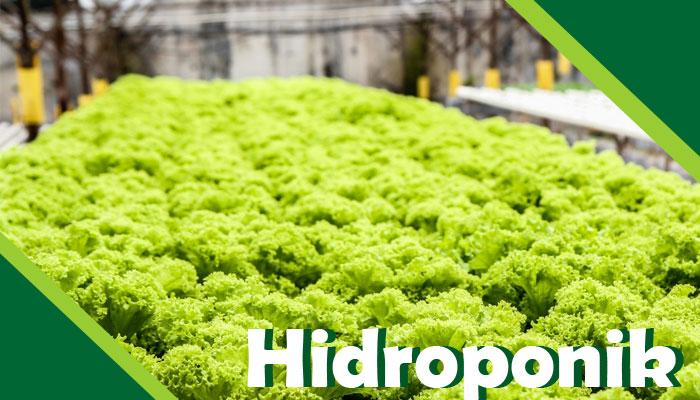Pertanian Menggunakan Metode Hidroponik