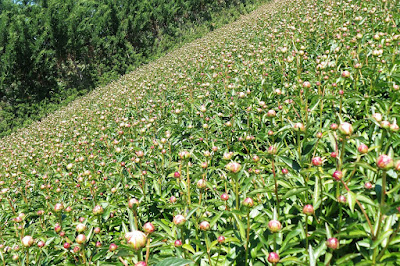 Field of peonies at flower farm in Provence