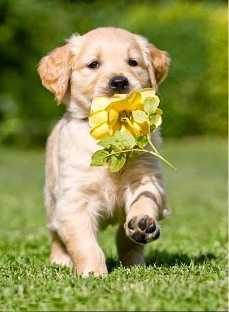 Cute Golden Retriever beautiful haz a flower
