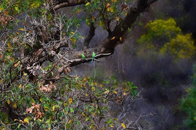 Rose-ringed Parakeet / Psittacula krameri