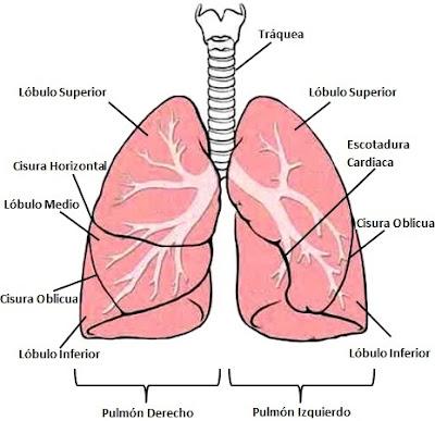 Ilustración de los pulmones y sus partes a colores
