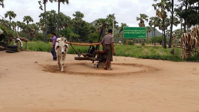 Manufactura de aceite de coco en Bagan