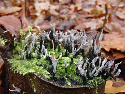 grzyby 2016, grzyby w listopadzie, grzyby nadrzewne, grzyby w okolicy Krakowa, rozszczepka pospolita Schizophyllum commune, Panellus stipticus łycznik ochrowy, próchnilec gałęzisty Xylaria hypoxylon, wrośniak różnobarwny Trametes versicolor, łycznik późny Panellus serotinus,  opieńka ciemna Armillaria ostoyae, trzęsak pomarańczowy Tremella aurantia, trzęsak mózgowaty Tremella encephala,