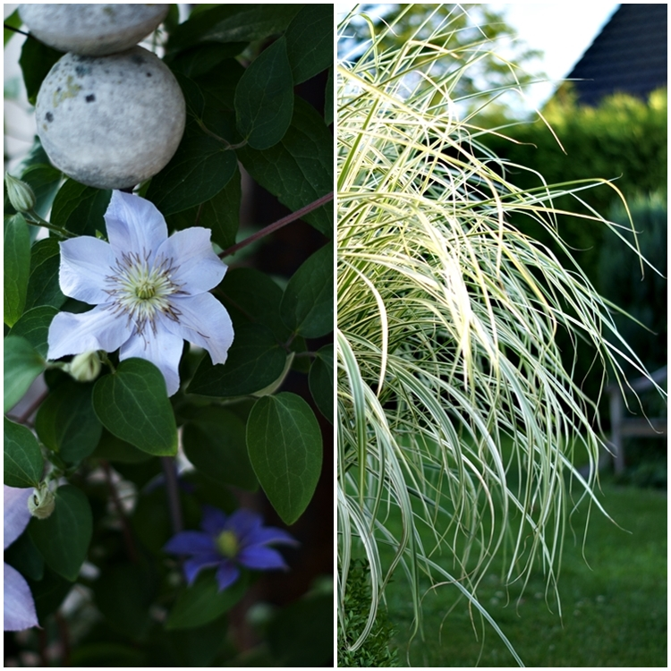 Clematis und Pampasgras { by it's me! }