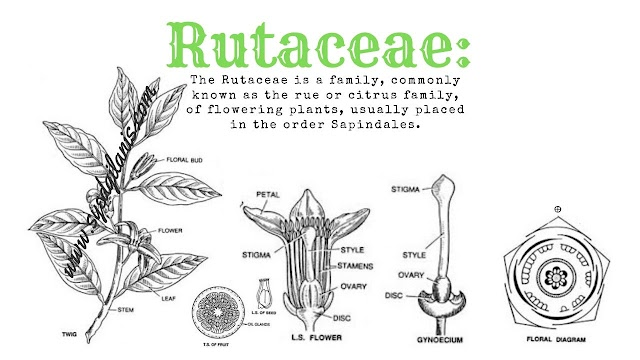 Rutaceae:  Rue or Citrus Family Characteristics, Floral formula, Floral Diagram And Economic Importance
