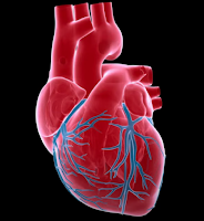 cardiovascular muscles