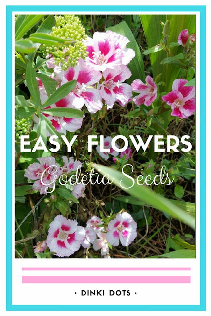 Are you looking for easy summer seeds to plant in the spring?  These Godetia seeds are so simple and easy to sew - no effort needed!  They grow into a riot of beautiful flowers - click to find out more!