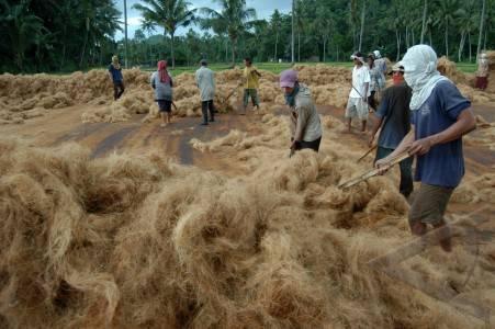 Sabut Kelapa Menghemat Pupuk Silian Raya News