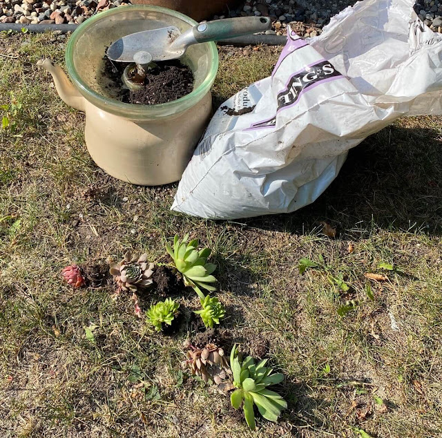 Photo of hen & chicks being planted in a glass insulator