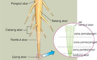 Hasil gambar untuk struktur bagian luar akar