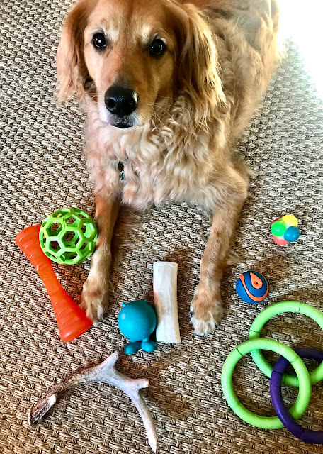 Golden retriever looking overwhelmed by toys all around him.