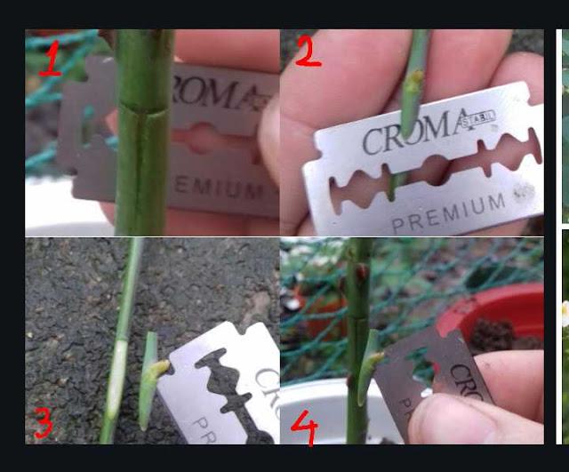 kỹ thuật ghép hoa hồng
