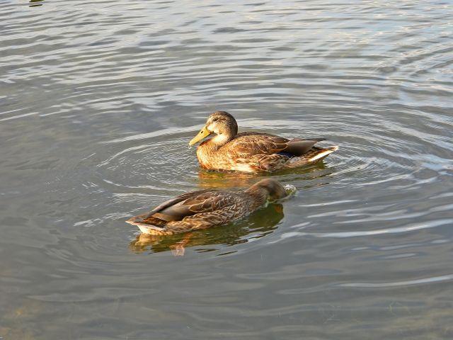 ptaki wodne, jezioro, Niesłysz, przyroda