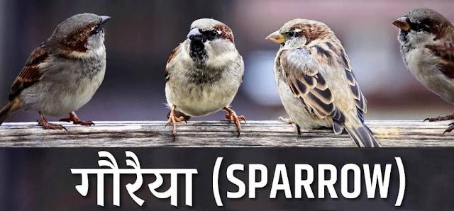 Sparrow - Gauraiya