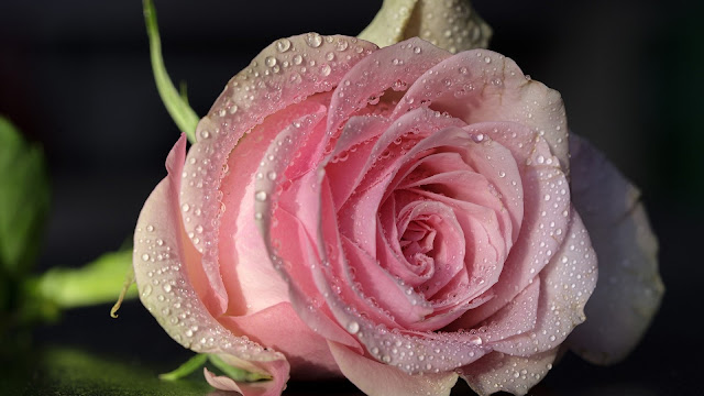 pink rose flower with water drops HD flowers Wallpaper