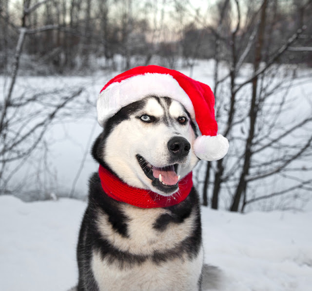 A happy Siberian Husky wears a Santa hat in the snow