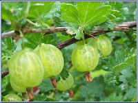 gooseberry - die Stachelbeere - Ribes uva-crispa