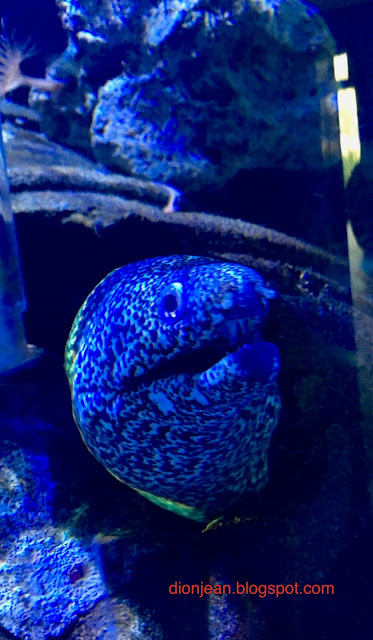 Blue eel smiling