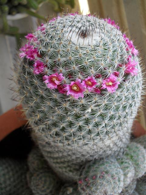 En blomstrende kaktus, Mammillaria