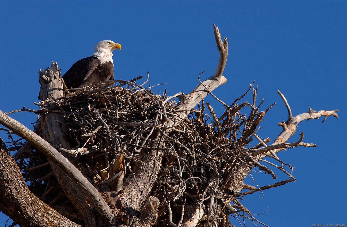 Rules of the Jungle: When do eagles build their nest?