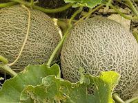 Tips Cara Budidaya Melon yang Terbukti Dapat Meningkatkan Hasil Panen