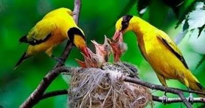 Cara Membedakan Burung Kepodang Jantan Dan Betina