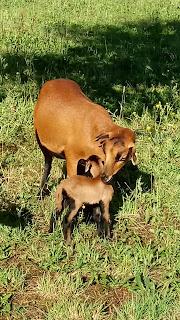 mouton cameroun agneau