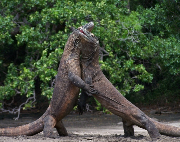 Komodo Dragon Wikipedia: Amazing Animals Pictures: The Largest Species Of Lizard