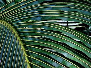 6 Ciri Ciri Pokok Kelapa Yang Anda Perlu Tahu