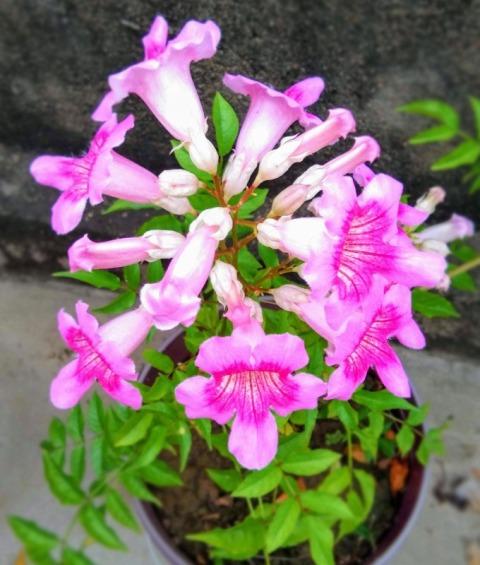 Tecoma pink