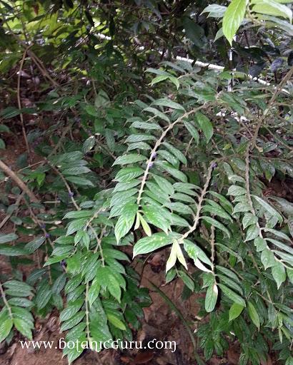 Lasianthus tomentosus