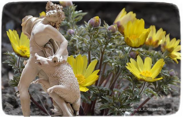 zagadki-pro-vesennie-cvety-podsnezhniki-adonis