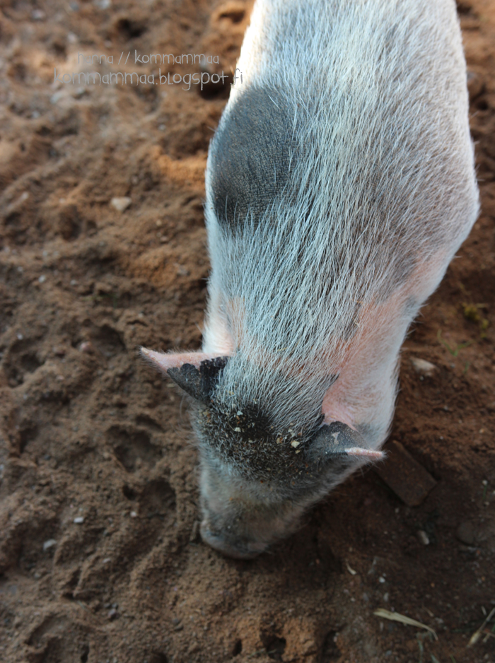 fallkulla kotieläintila malmi helsinki sika possu