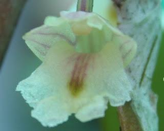 Lan Hoàng thảo móng rồng - Dendrobium nathanielis Rchb.f.