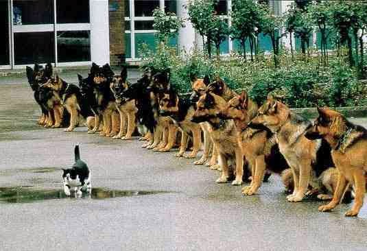 facing your fears - cat walking in front of 16 dogs!
