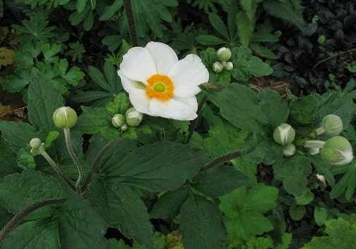 Professione donna piante perenni che fioriscono in for Piante che fioriscono in inverno