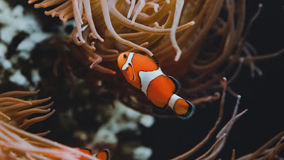 Underwater, clown fish, corals, reef, algae
